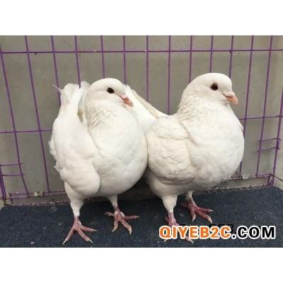 三斤的鸽子品种