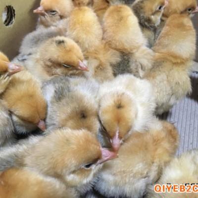 求购正宗的乌皮红羽跑山土鸡苗 一天的小苗育雏技术