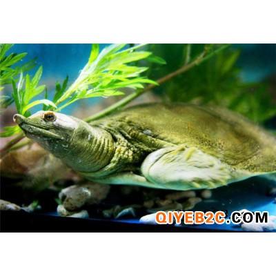 外塘生态甲鱼